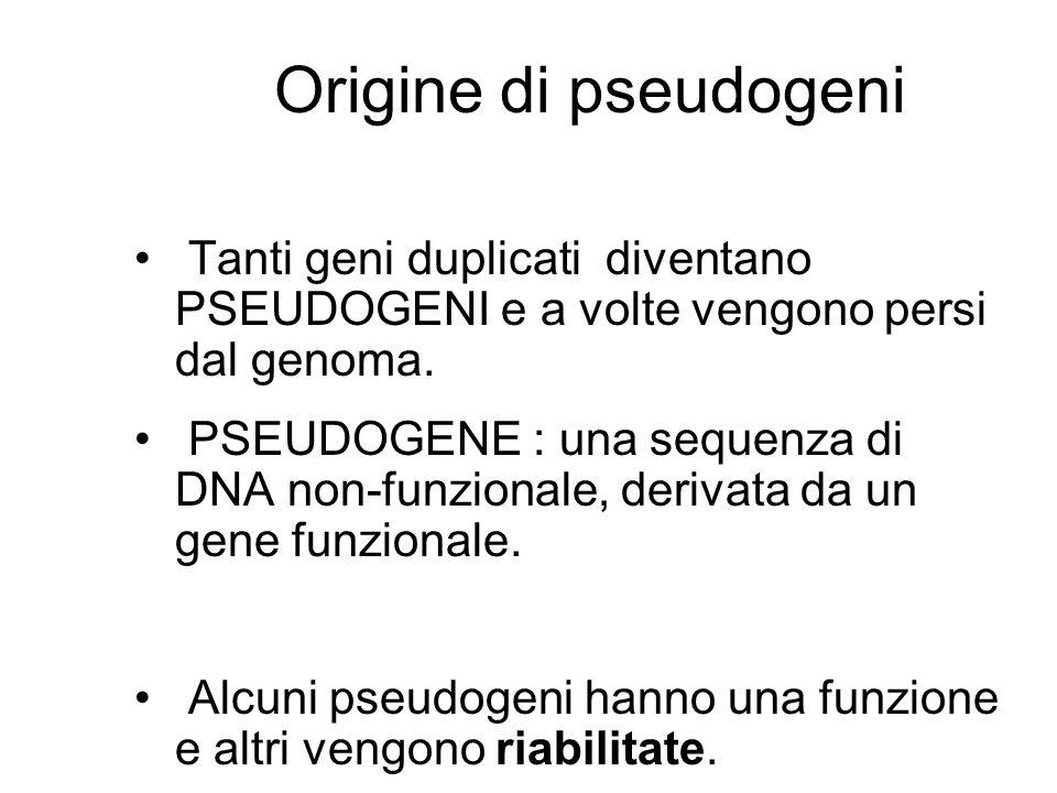 Origine di pseudogeni Tanti geni duplicati diventano PSEUDOGENI e a volte vengono persi dal genoma.