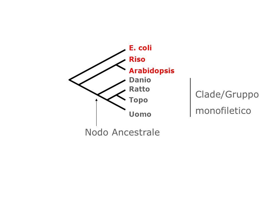 Clade/Gruppo monofiletico Nodo Ancestrale E. coli Riso Arabidopsis