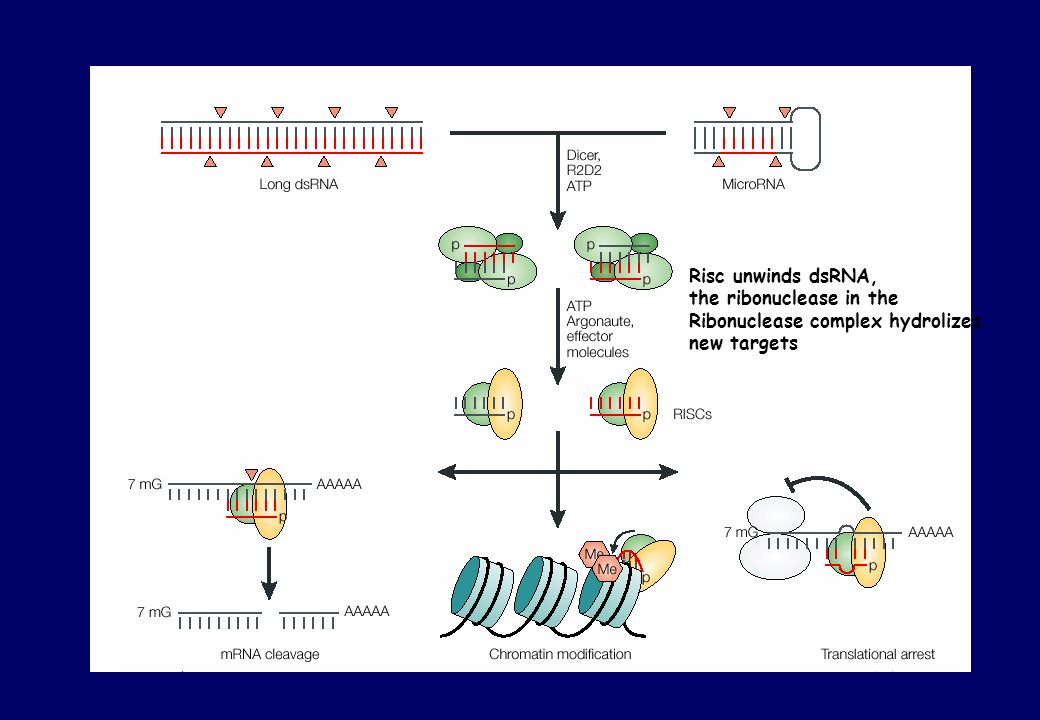 Risc unwinds dsRNA, the ribonuclease in the