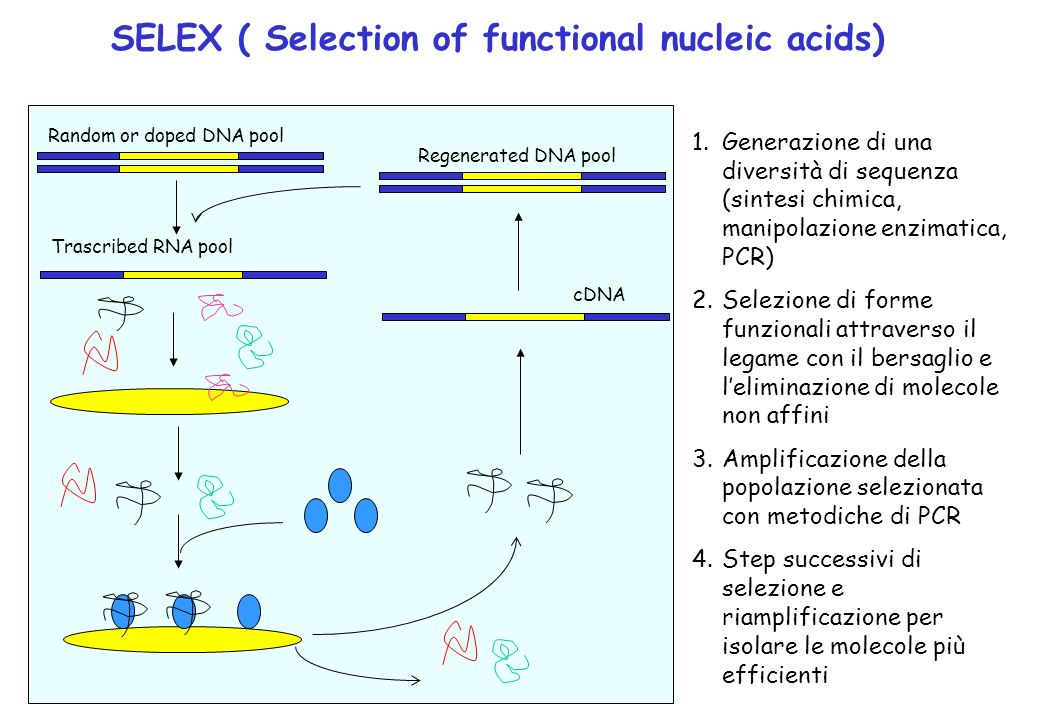 SELEX ( Selection of functional nucleic acids)