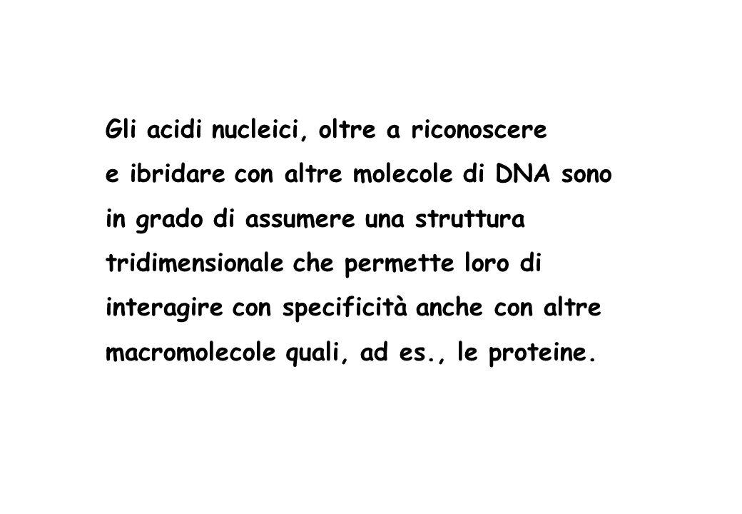 Gli acidi nucleici, oltre a riconoscere