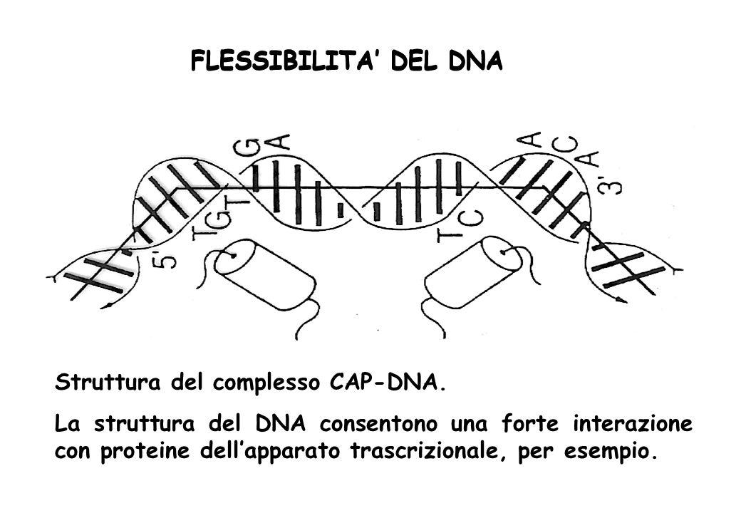 FLESSIBILITA' DEL DNA FLESSIBILITA' DEL DNA