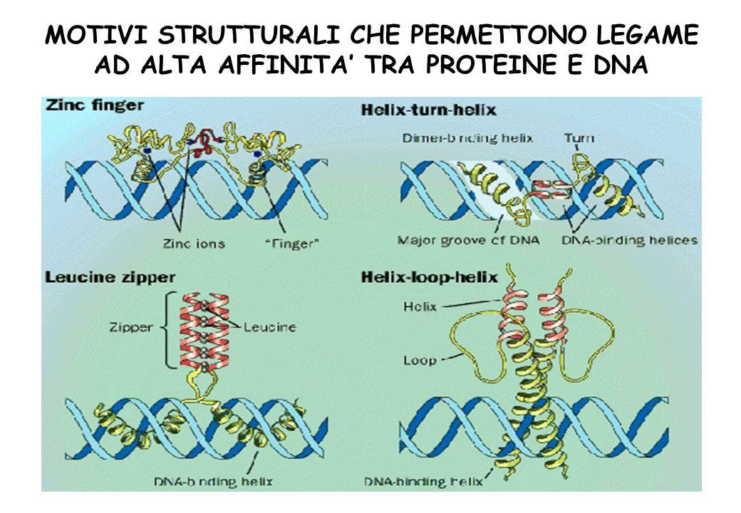 MOTIVI STRUTTURALI CHE PERMETTONO LEGAME AD ALTA AFFINITA' TRA PROTEINE E DNA