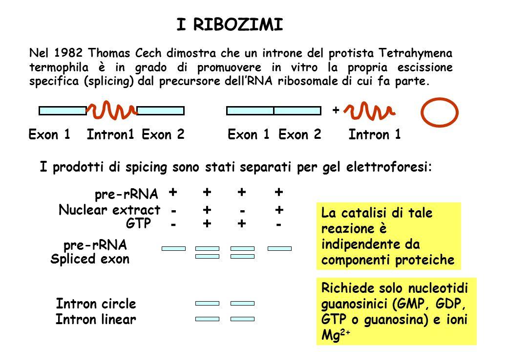 I RIBOZIMI + + + + - + - + - + + - + Exon 1 Intron1 Exon 2 Exon 1
