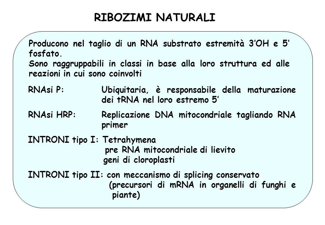 RIBOZIMI NATURALI Producono nel taglio di un RNA substrato estremità 3'OH e 5' fosfato.