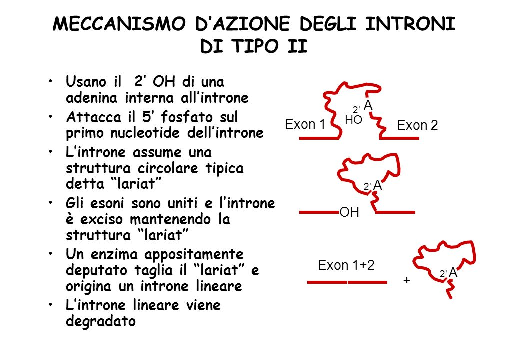 MECCANISMO D'AZIONE DEGLI INTRONI DI TIPO II