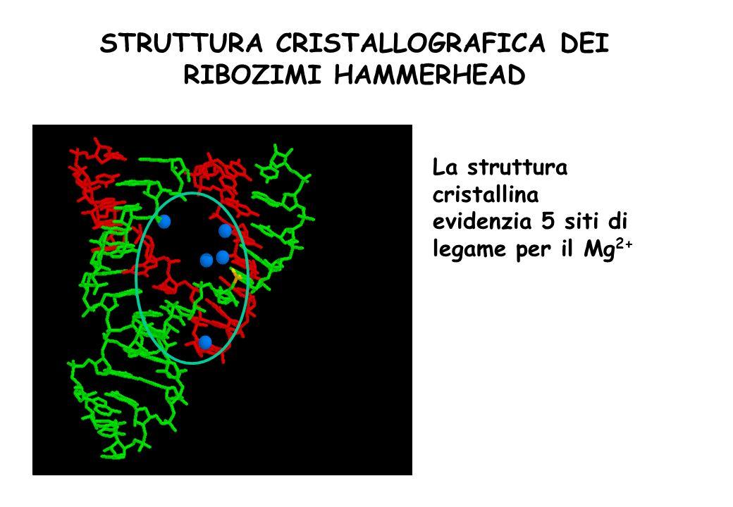 STRUTTURA CRISTALLOGRAFICA DEI RIBOZIMI HAMMERHEAD