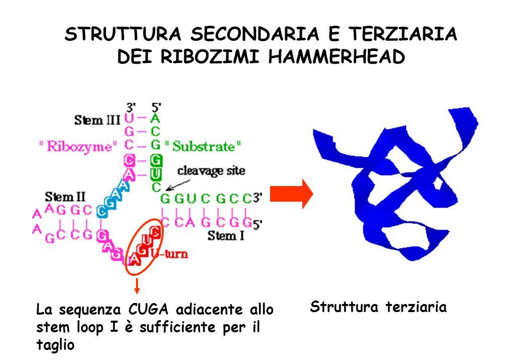 STRUTTURA SECONDARIA E TERZIARIA DEI RIBOZIMI HAMMERHEAD