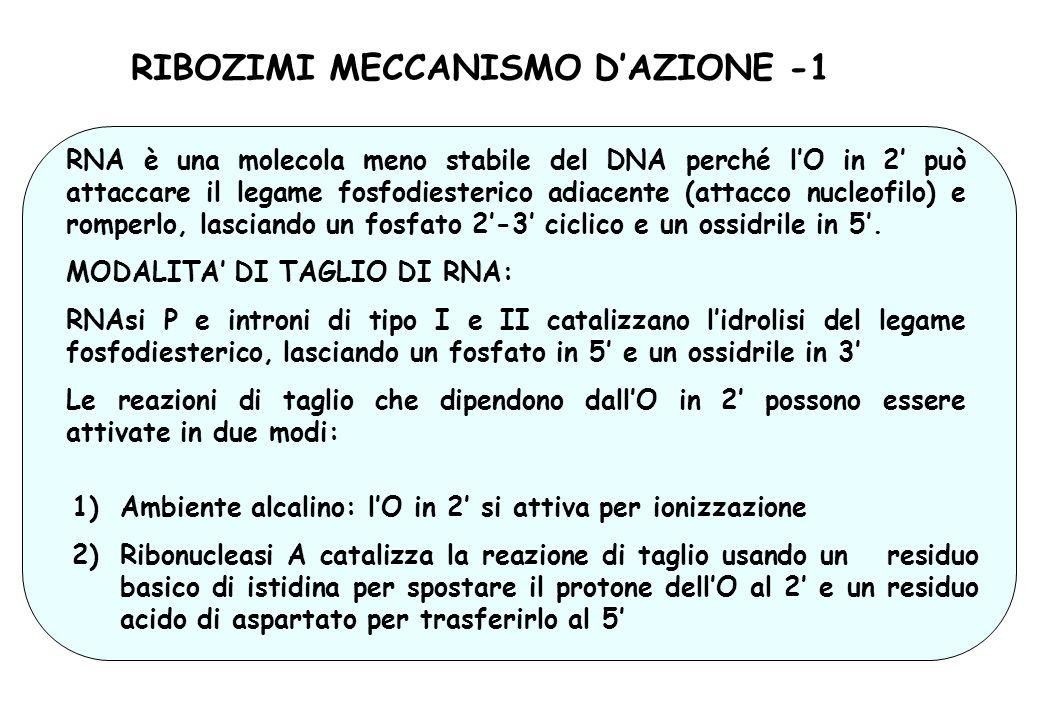 RIBOZIMI MECCANISMO D'AZIONE -1