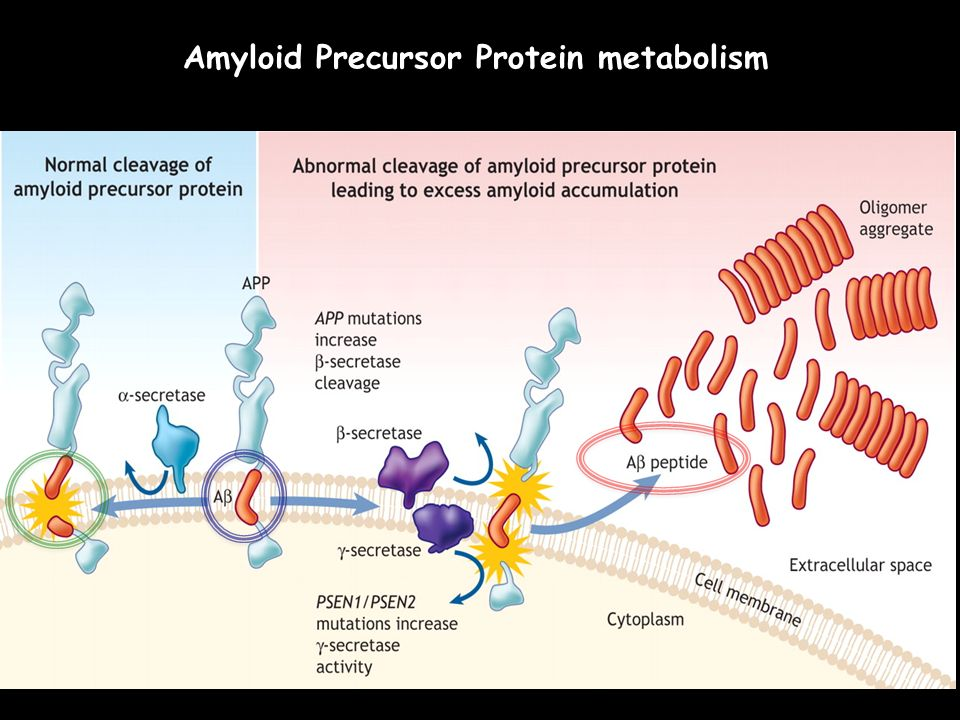 Amyloid Precursor Protein metabolism