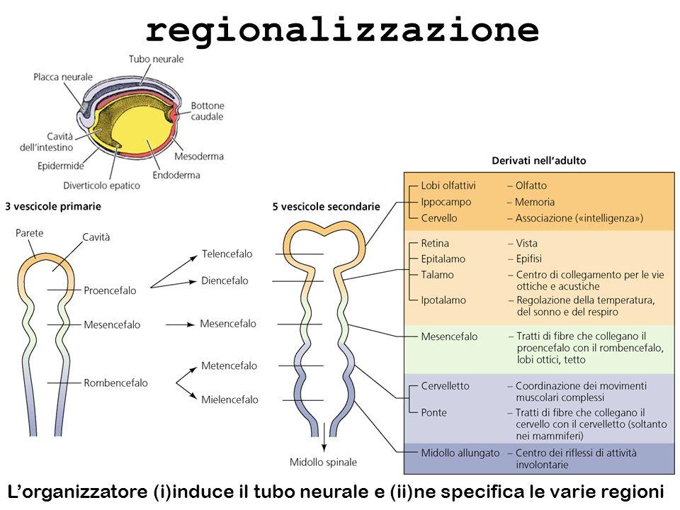 regionalizzazione L'organizzatore (i)induce il tubo neurale e (ii)ne specifica le varie regioni
