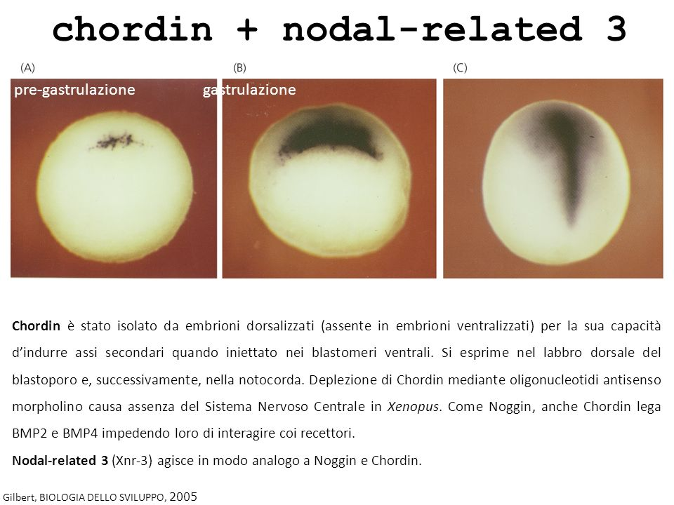 chordin + nodal-related 3
