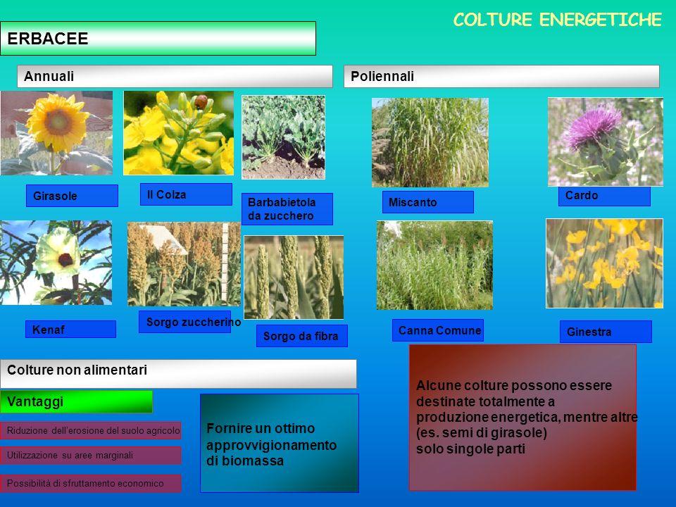 COLTURE ENERGETICHE ERBACEE Annuali Poliennali