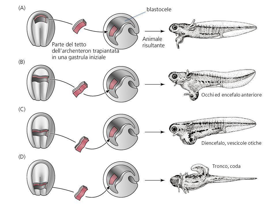 blastocele Occhi ed encefalo anteriore Diencefalo, vescicole otiche