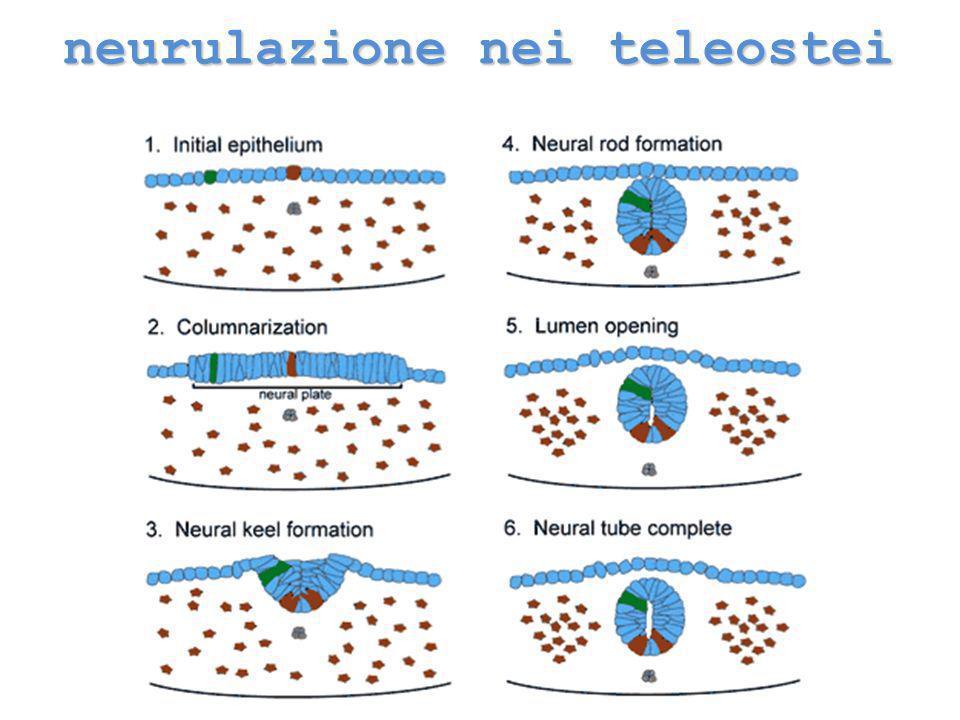 neurulazione nei teleostei