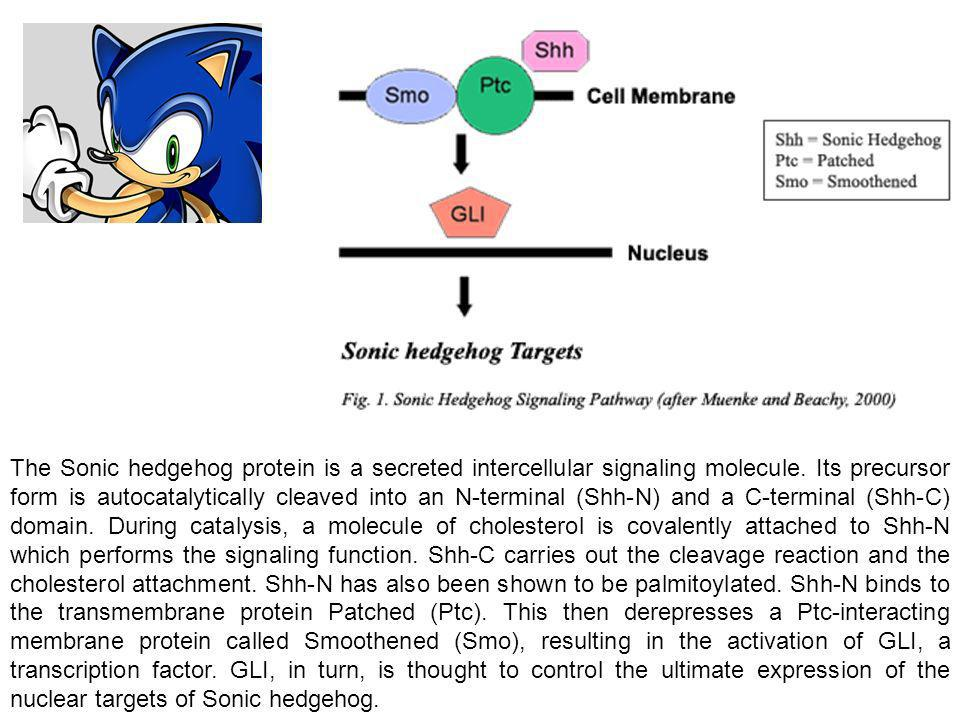 The Sonic hedgehog protein is a secreted intercellular signaling molecule.