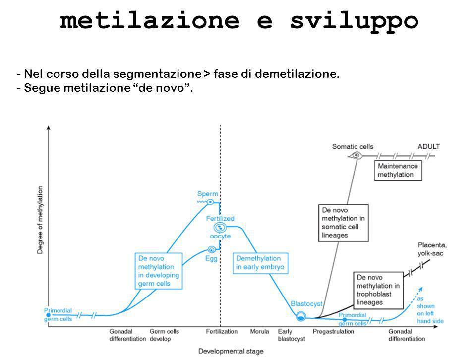 metilazione e sviluppo