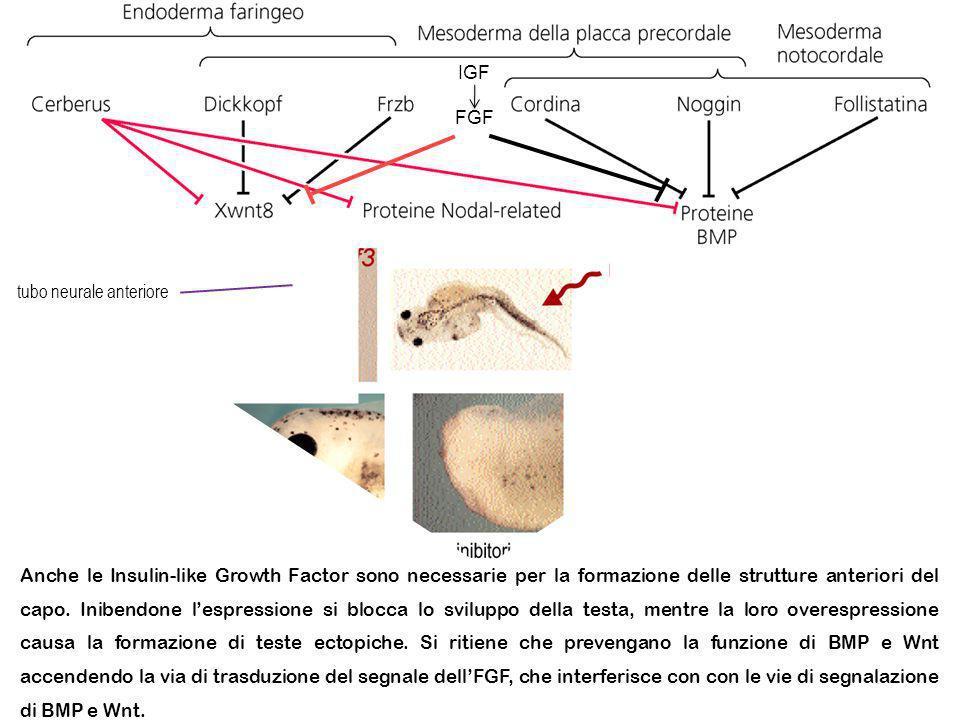 Anteriore Posteriore IGF FGF tubo neurale anteriore