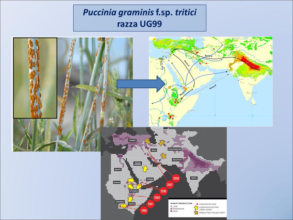 Puccinia graminis f.sp. tritici razza UG99