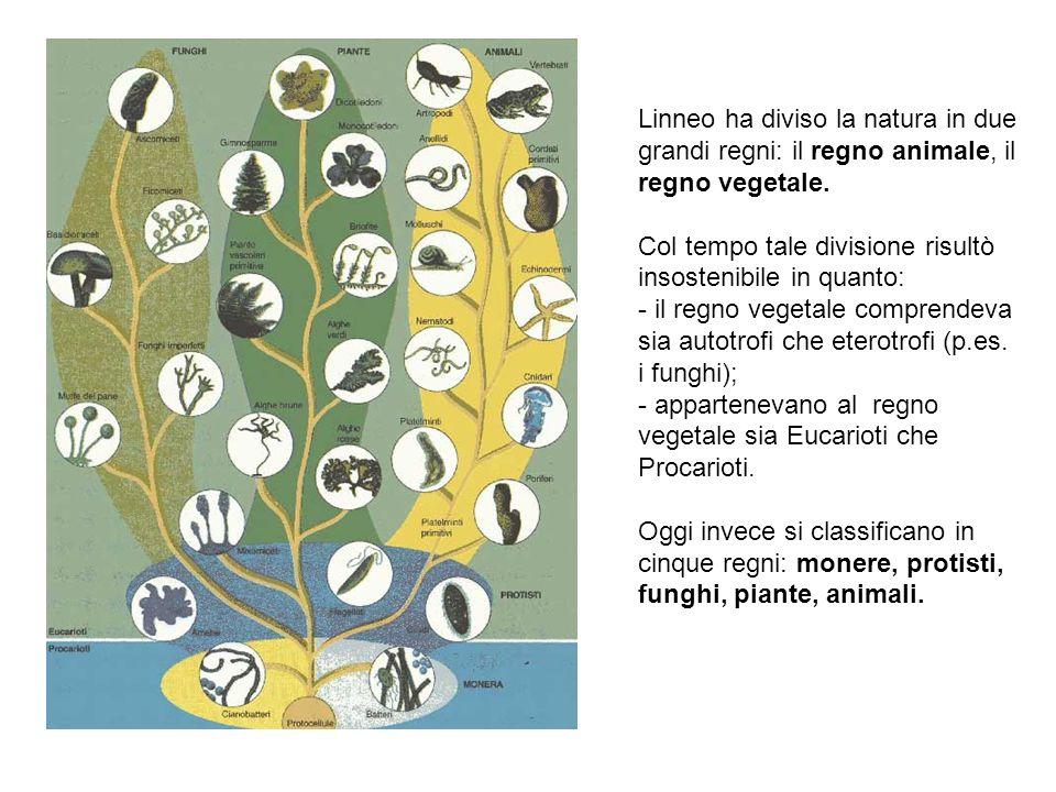 Linneo ha diviso la natura in due grandi regni: il regno animale, il regno vegetale.