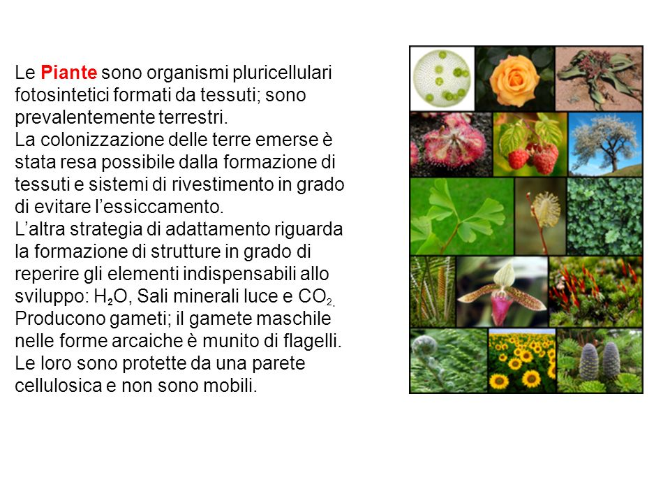 Le Piante sono organismi pluricellulari fotosintetici formati da tessuti; sono prevalentemente terrestri.