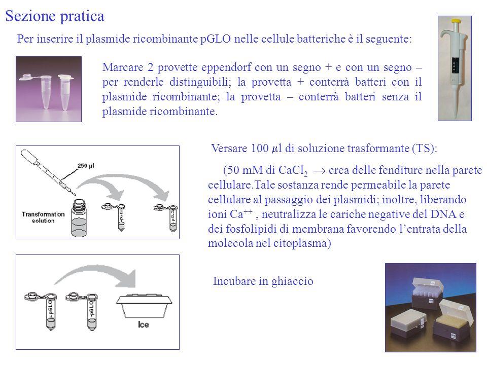 Sezione pratica Per inserire il plasmide ricombinante pGLO nelle cellule batteriche è il seguente: