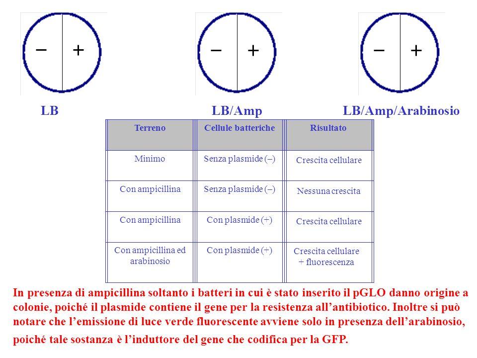 LB LB/Amp LB/Amp/Arabinosio