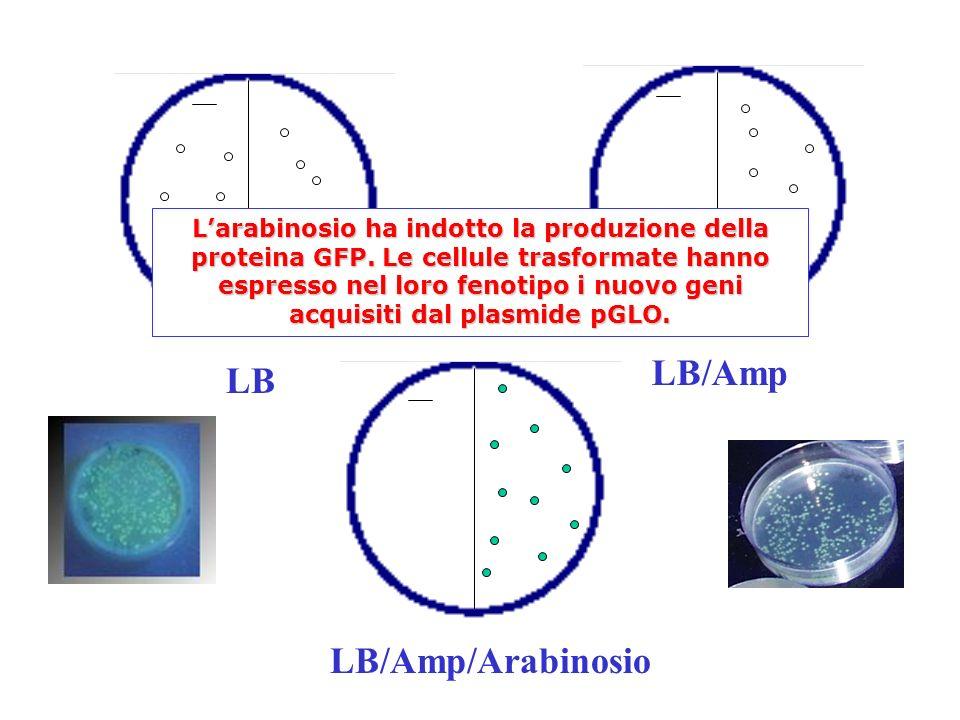 LB/Amp LB LB/Amp/Arabinosio