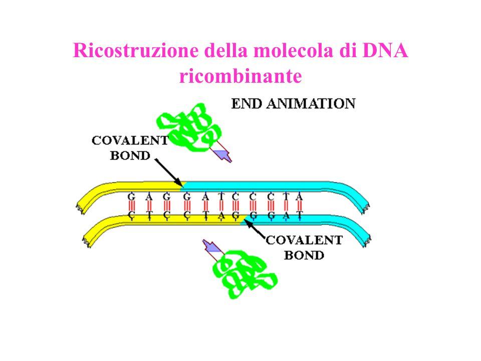 Ricostruzione della molecola di DNA ricombinante