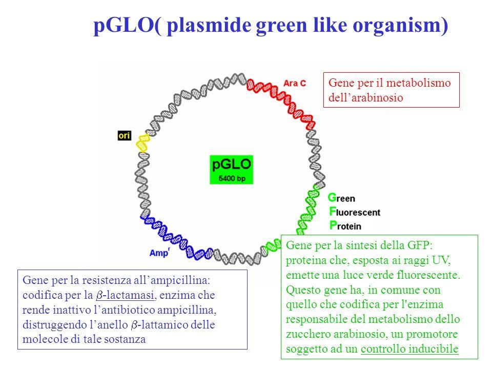 pGLO( plasmide green like organism)