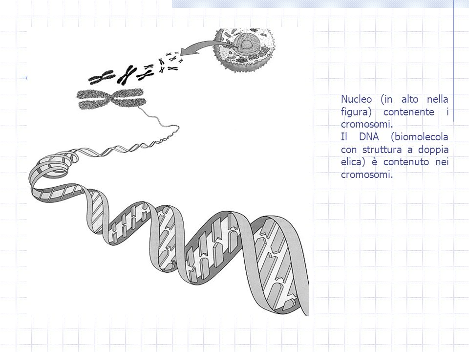 Nucleo (in alto nella figura) contenente i cromosomi.
