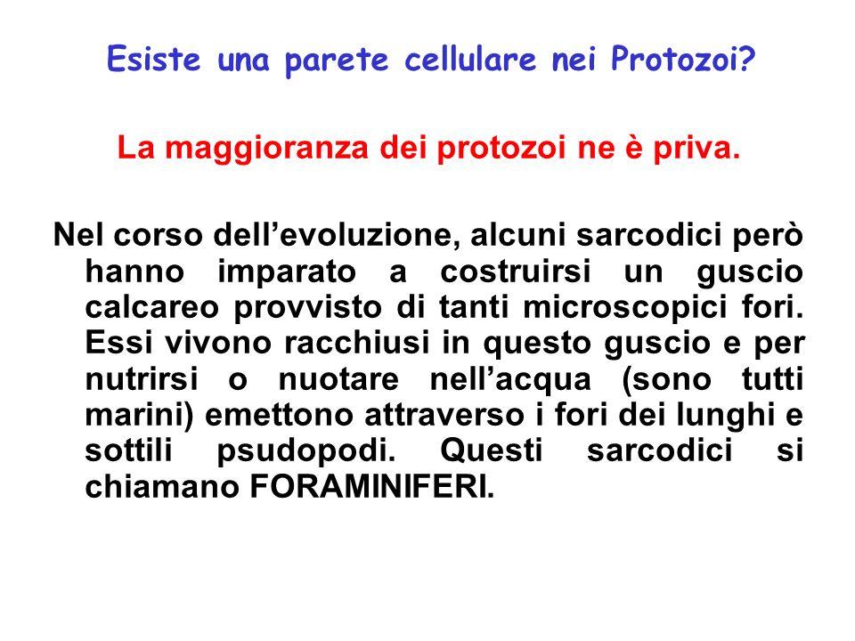 Esiste una parete cellulare nei Protozoi