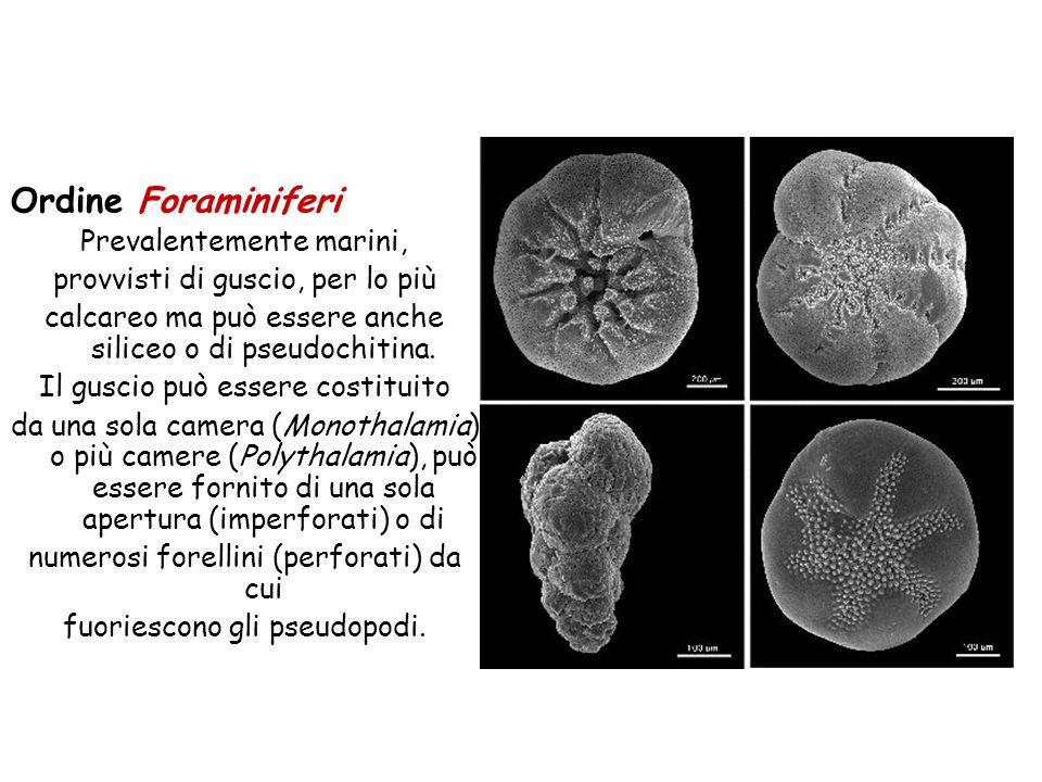Ordine Foraminiferi Prevalentemente marini,