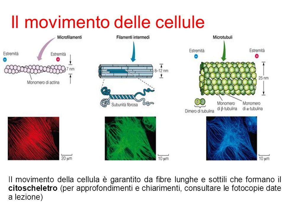 Il movimento delle cellule