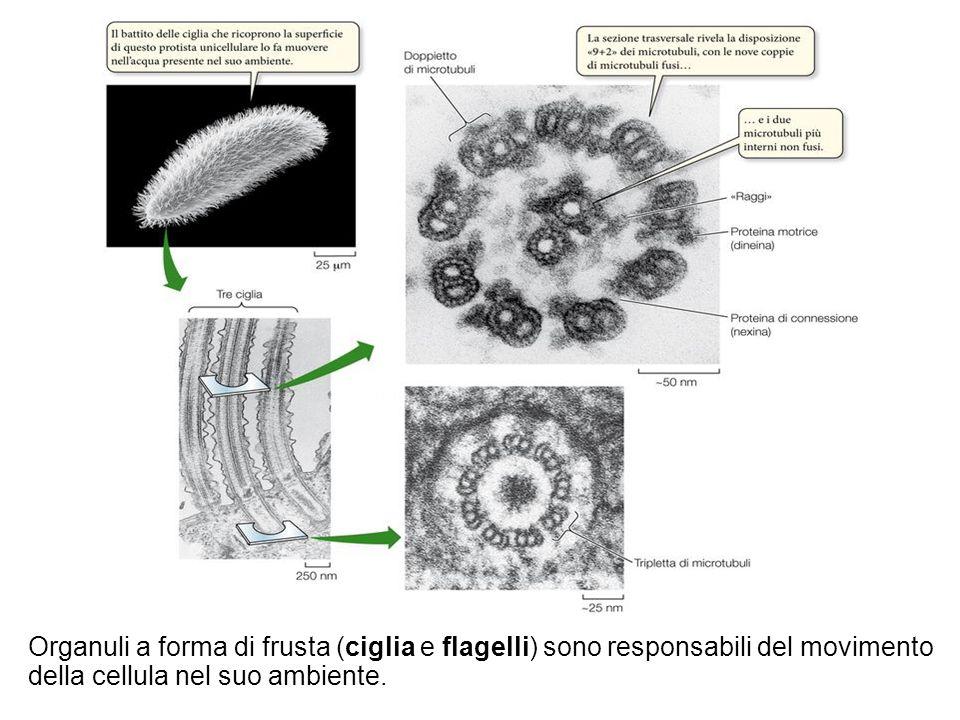 Organuli a forma di frusta (ciglia e flagelli) sono responsabili del movimento della cellula nel suo ambiente.