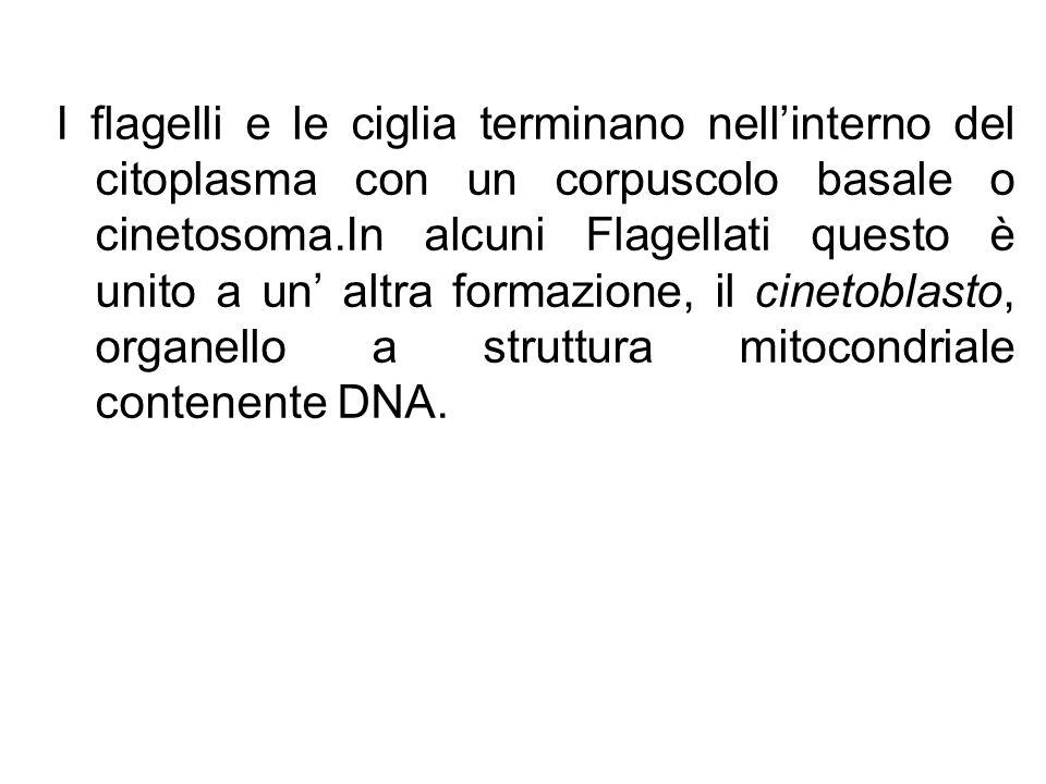 I flagelli e le ciglia terminano nell'interno del citoplasma con un corpuscolo basale o cinetosoma.In alcuni Flagellati questo è unito a un' altra formazione, il cinetoblasto, organello a struttura mitocondriale contenente DNA.