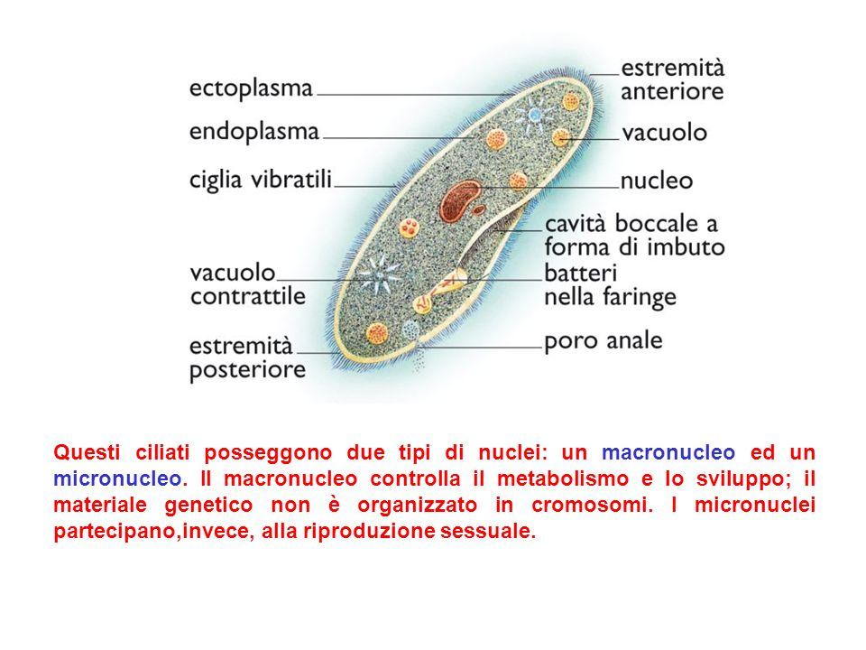 Questi ciliati posseggono due tipi di nuclei: un macronucleo ed un micronucleo.