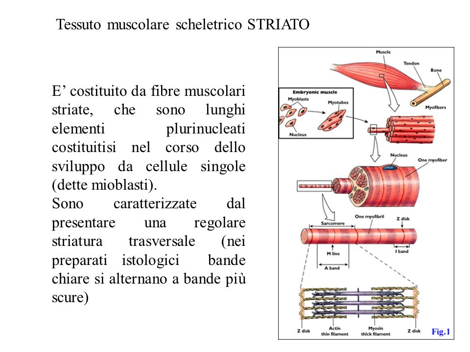 Tessuto muscolare scheletrico STRIATO