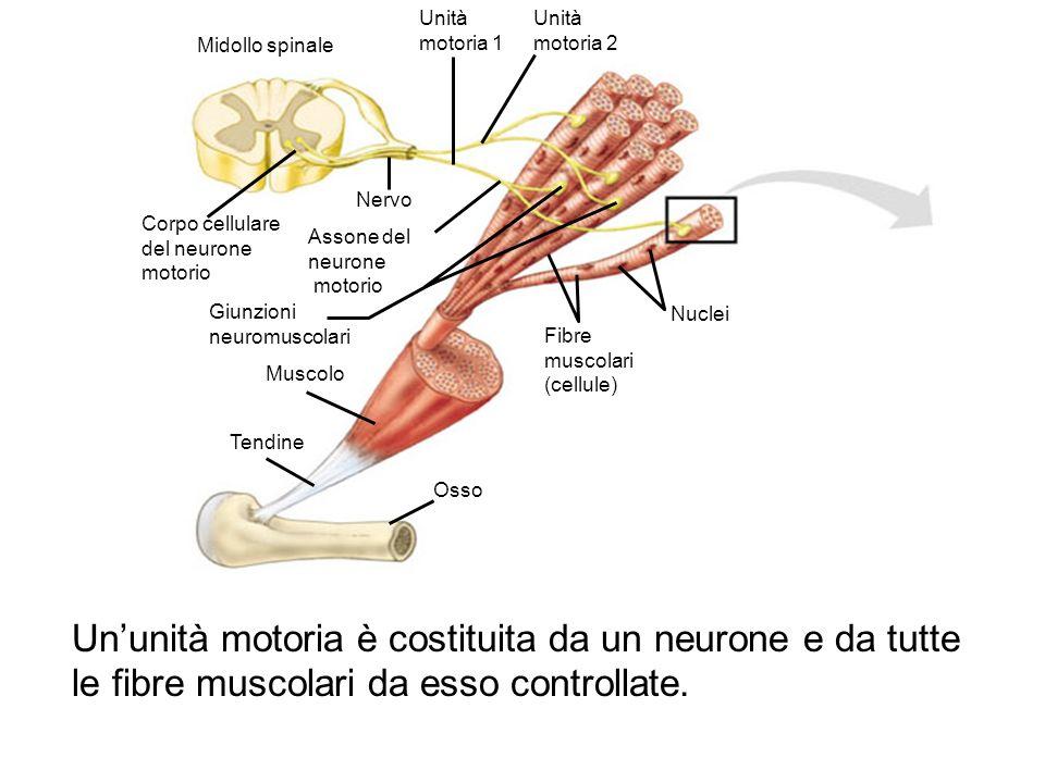 Osso Tendine. Muscolo. Giunzioni neuromuscolari. Fibre. muscolari. (cellule) Nuclei. Assone del.