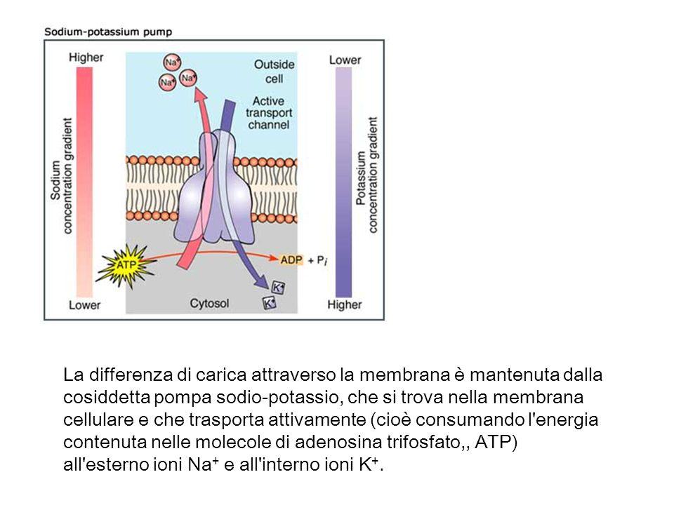 La differenza di carica attraverso la membrana è mantenuta dalla cosiddetta pompa sodio-potassio, che si trova nella membrana cellulare e che trasporta attivamente (cioè consumando l energia contenuta nelle molecole di adenosina trifosfato,, ATP) all esterno ioni Na+ e all interno ioni K+.