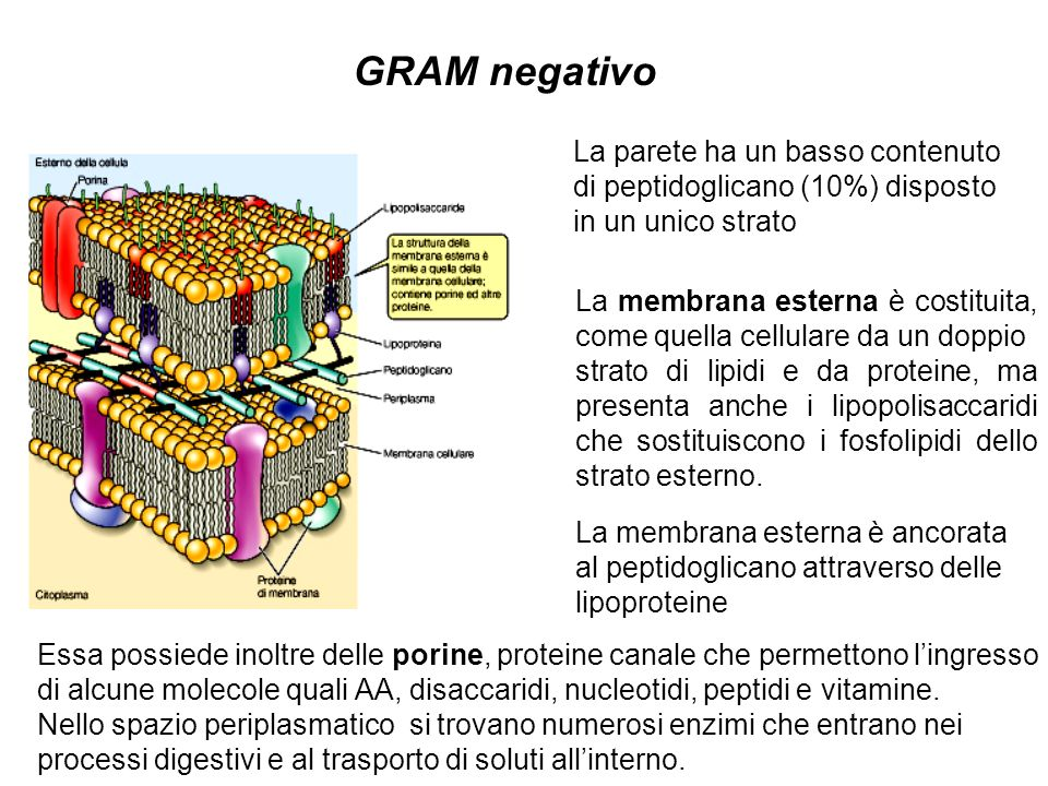 GRAM negativo La parete ha un basso contenuto