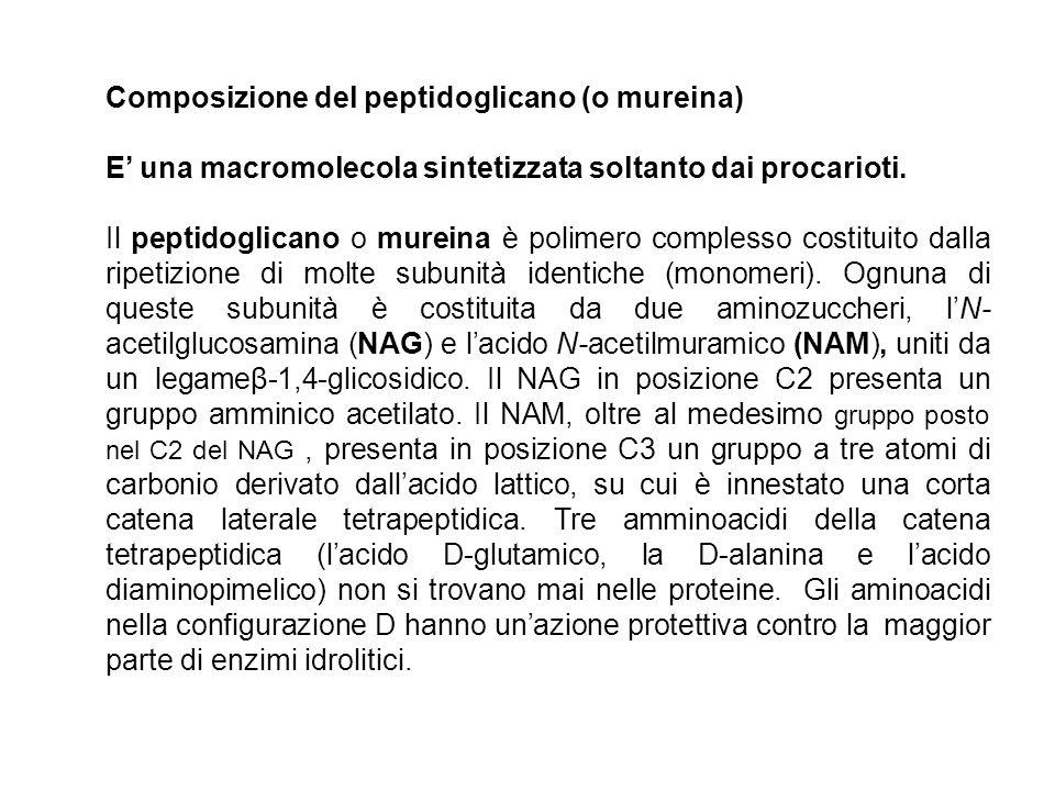 Composizione del peptidoglicano (o mureina)