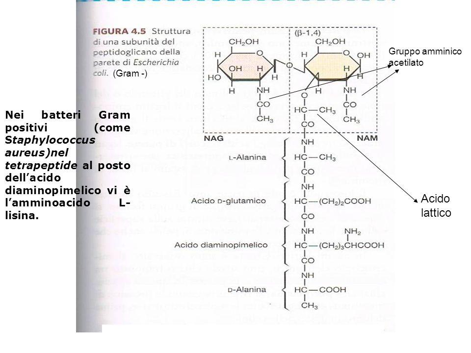 Gruppo amminico acetilato. (Gram -)