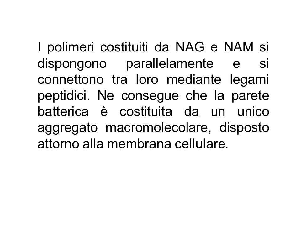 I polimeri costituiti da NAG e NAM si dispongono parallelamente e si connettono tra loro mediante legami peptidici.