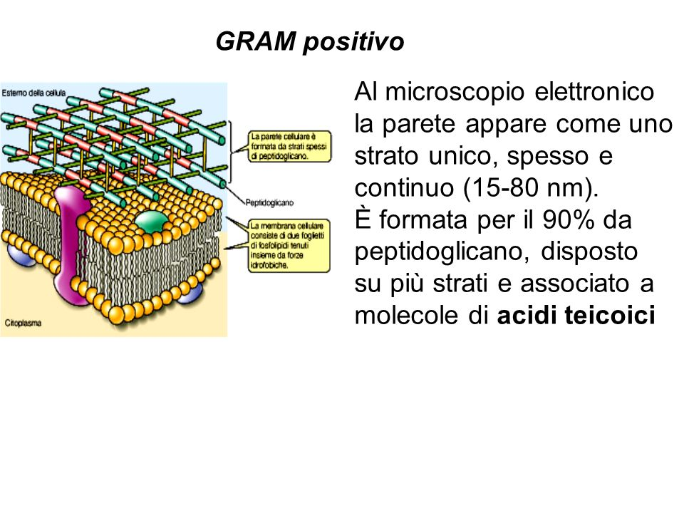 GRAM positivo Al microscopio elettronico. la parete appare come uno. strato unico, spesso e. continuo (15-80 nm).