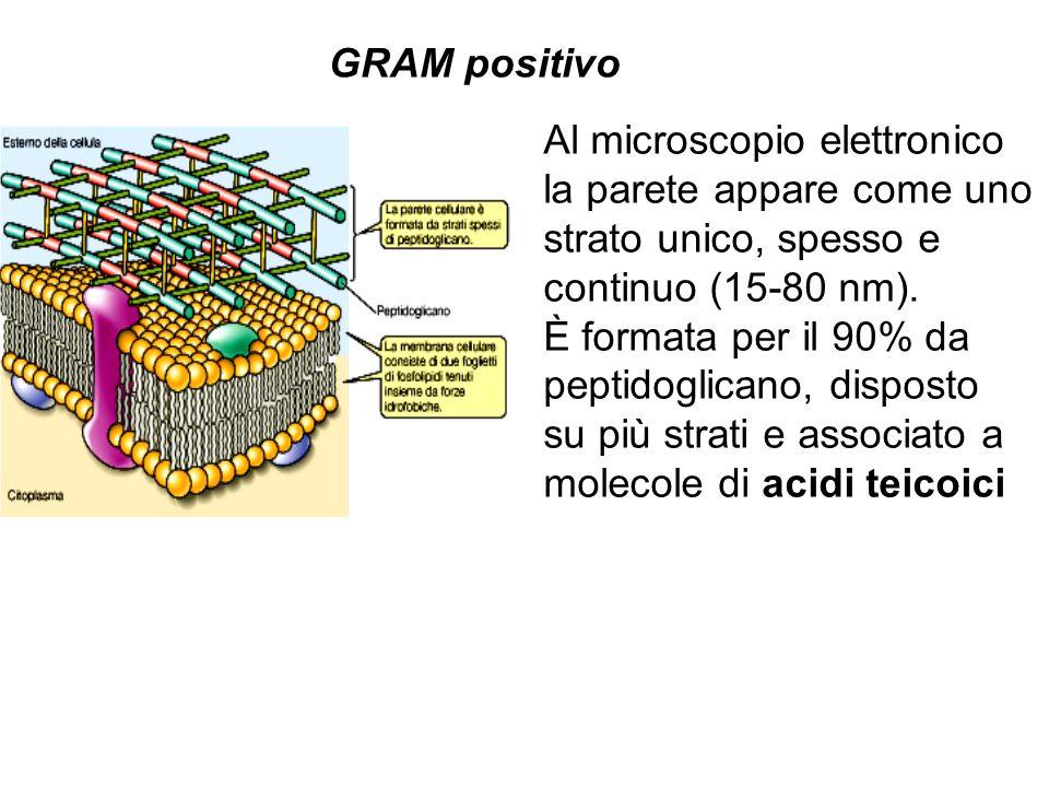 GRAM positivoAl microscopio elettronico. la parete appare come uno. strato unico, spesso e. continuo (15-80 nm).