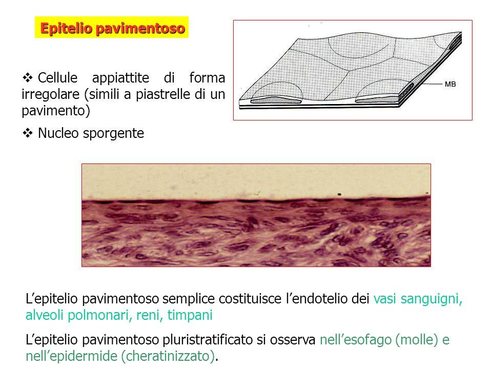 Epitelio pavimentoso Cellule appiattite di forma irregolare (simili a piastrelle di un pavimento) Nucleo sporgente.
