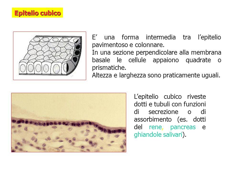 Epitelio cubico E' una forma intermedia tra l'epitelio pavimentoso e colonnare.