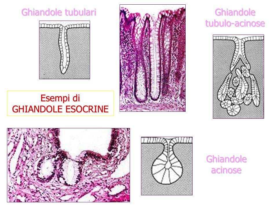 Ghiandole tubulo-acinose