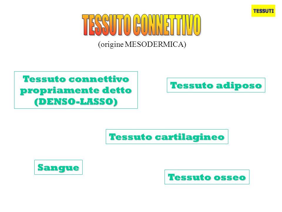 TESSUTO CONNETTIVO Tessuto connettivo propriamente detto